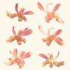 hawaiian_orchid_3
