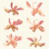 hawaiian_orchid_3